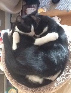 Tuxedo cats -  Remind me of Lacey & Lucy!