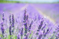 La Lavanda - Lavandula angustifolia, consigli e usi Lavender Blossoms, Lavender Flowers, Lavender Oil, Lavander, Lavender Fields, Flowers Garden, Summer Flowers, Lavandula Angustifolia, Perennials