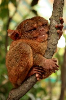 """if your happy and you know it hug a tree . I'm a tarsier ! The Philippine Tarsier has been called """"the world's smallest monkey"""" or """"smallest primate"""" by locals before. However, the Philippine Tarsier is neither a monkey nor the smallest primate. Unusual Animals, Rare Animals, Cute Baby Animals, Animals And Pets, Funny Animals, Happy Animals, Smiling Animals, Strange Animals, Wild Animals"""