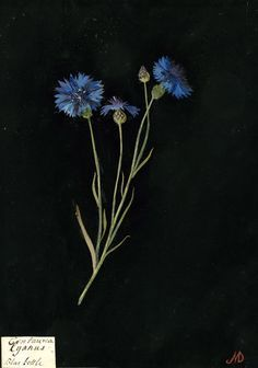 Paper cornflower