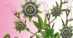 Passiflora: para qué sirve y recetas con esta maravillosa medicinal