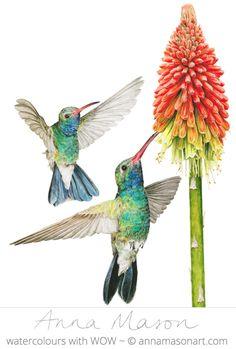 Broadbilled Hummingbirds with Kniphofia by Anna Mason. Portfolio - Anna Mason Art