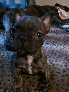 """Bacon"" - My sweet little Frenchton pup :)"