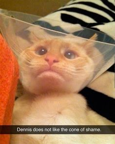 Attack Of The Funny Animals - 35 Pics Dennis, the cat, does not like the cone of shame! Cute Cat Gif, Cute Funny Animals, Funny Cute, The Funny, That's Hilarious, Daily Funny, Funny Jokes, Crazy Cat Lady, Crazy Cats