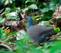 Photo Tataupa Tinamou (Crypturellus tataupa) by Dario Sanches   Wiki Aves - The Encyclopedia of Brazilian Birds
