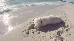 wallpaper cute animals cute dog play with sand funny gif  #dog #dogs #dogstagram #dogoftheday #doggy #doglife #loucosporarmas  #loucaporarmas #taurus #pc #top #brasil #pistola #policiabrasileira #inshot  #girls #cute #summer #blur #sun #happy #fun #hair #beach #hot #cool #family #nofilter #amazing  #style #love #photooftheday #lol #madrid #waterproof #pragueratter #pinscher #cercedilla #minipin #instadog #parque #funny #julius #play  #firstlove #juliusk9idc #ratondepraga #minipincher…