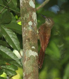 Arapaçu-barrado-do-xingu (Dendrocolaptes retentus) por Rodrigo Dela Rosa |