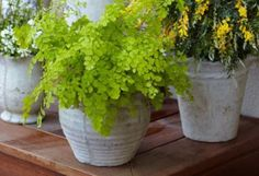 Mosquito Repelling Plants ~ love the idea of potting them in pretty pots!  Could have several groupings & when a party is in order, move them all to party central!