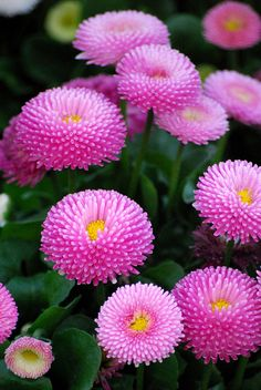 Bellis - English Daisy by 'monetmama' via flickr photo share ~<3A VERY PRETTY PINK<3~