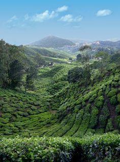 Tea Plantation, from Admirable Tea