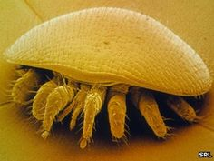 Varroa mites (Varroa destructor) is an external parasitic mite that attacks the honey bees Apis cerana and Apis mellifera. The disease caused by the mites is called varroatosis.
