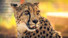 https://flic.kr/p/vpjnk8 | Portrait of a Cheetah | Taken at the San Diego Safari Park, California