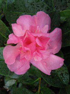 Camellia 'sparking burgundy' winter flowers