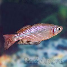 Gorgeous guppies fancy male guppy bugs n 39 stuff for Easy to care for fish