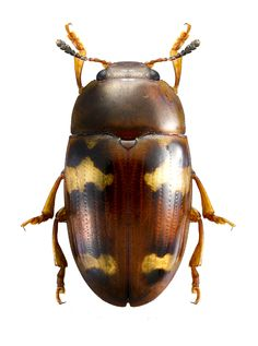 Mycotretus floriger Lacordaire 1842 / Guyane