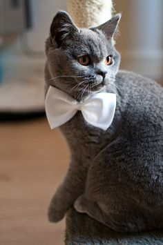 Cats in bow-ties. My new favourite thing.