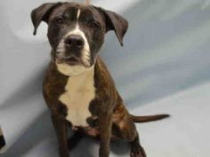 SUPER URGENT 01/08/16 Brooklyn Center BROOKLYN – A1062527 FEMALE, BL BRINDLE / WHITE, AM PIT BULL TER / LABRADOR RETR, 8 yrs OWNER SUR – EVALUATE, NO HOLD Reason LLORDPRIVA Intake condition UNSPECIFIE Intake Date 01/08/2016, From NY 11233, DueOut Date 01/08/2016