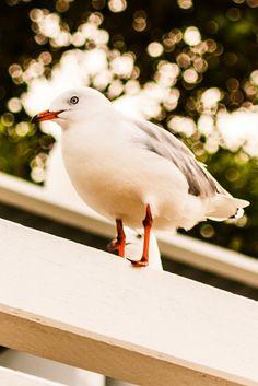 Seagull on the Sandgate Foreshore - Sandgate, QLD, Australia - Zac Harney Photography