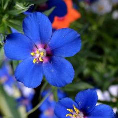 Pimpernel Blue Flower Seeds (Anagallis Arvensis Caerulea) - Under The Sun Seeds - 1 Blue Flowers, Beautiful Flowers, Real Flowers, Deer Resistant Perennials, Flower Garden Plans, Large Flower Pots, Rare Orchids, Unusual Plants, Unusual Flowers