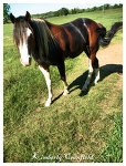 Stetson's Mr. Blue, a chimeric Paint horse. Tricolor coat kind of like a calico cat