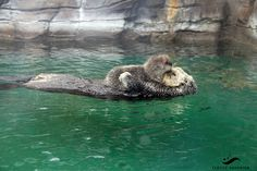 Sea Otter Pup Rests Her Head on Her Mother's Nose....  This photo is a throwback to 2012, when little Sekiu was born at the Seattle Aquarium to resident otters Aniak and Adaa!