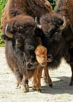 194 Best Bovidae (biological family of cloven-hoofed