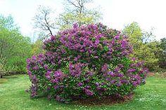 lilac bush growing tips