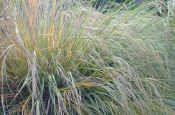 Naturally Native – New Zealand Native Plants gossamer grass Plant Design, Native Plants, Planting, Landscape Design, New Zealand, Nativity, Grass, Landscaping, Herbs