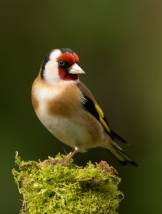 European Goldfinch / Tikli - Saw one of these for the first time dining at my bird feeder few days ago. Brave, little fellow... very pretty bird.