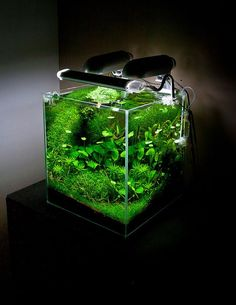 Nature Aquarium, Aquascaping and planted aquarium inspirations. Nature Aquarium is a concept of the planted aquarium introduced by Japanese photographer and aquarist Takashi Amano founder of Aqua Design Amano (ADA). Aquascaping, Aquarium Aquascape, Betta Aquarium, Planted Aquarium, Betta Fish Tank, Home Aquarium, Nature Aquarium, Aquarium Setup, Aqua Aquarium