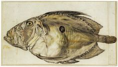 Hendrick Goltzius, 1558-1617, Dutch, John Dory (Zeus faber L.), c.1595-1600.  Various coloured chalks, rubbed with a stump, lightly washed; 17.9 x 31.9 cm.  Teylers Museum, Haarlem.  Northern Mannerism.