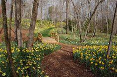 Gibbs Garden - in Atlanta-area....gorgeous massive daffodil plantings