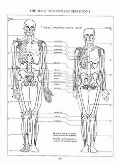 Even from a skeletal perspective it should be possible to distinguish whether the figure is male or female. The key is that a female's pelvi...