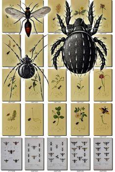 INSECTS-72 Collection of 229 vintage illustration Spider Wasp Acarien, Acariens, Achenium, Acilius, Acridium, Aepus, Agonum, Agrotis, Anisoplia, Antherophagus, Aphis, Aphodius, Apis, Aranea, Arcopagus, Argutor, Argynnis, Asellus, Asilus, Attelabus, Badister, Berosus, Bledius, Blemus, Blethisa, Bolboceras, Brachinus, Bryaxis, Buprestis, Buprestoides, Byturus, Cafius, Calathus, Callicerus, Callistus, Calosoma, Carabus, Cassida, Catops, Cerambyx, Cetonia, Cherm