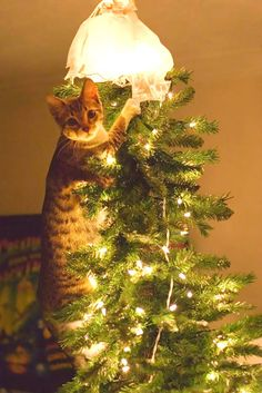 For a kitty, your tree is basically a giant toy with more toys hanging from it--a. your precious ornaments and decorations. Here are ten adorable videos of cats climbing, attacking, and ruining Christmas trees. Animal Gato, Amor Animal, Funny Cats, Funny Animals, Cute Animals, Cats Humor, Funny Horses, Wild Animals, Crazy Cat Lady