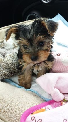 Love the pin, these dogs are wonderful pets and you get so much fun from them. Looks like my yorkie Yorkies, Yorkie Puppy, Baby Yorkie, Chihuahua Dogs, Yorky Terrier, Yorshire Terrier, Cute Baby Animals, Animals And Pets, Perros Yorkshire Terrier