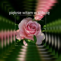 Rose, Blog, Flowers, Plants, Pink, Roses, Blogging, Flora, Plant