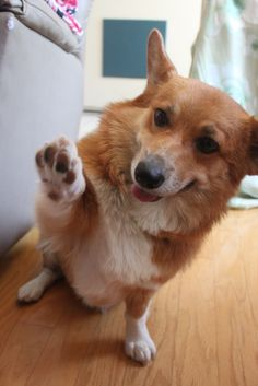 Corgi high fives are the best, cause they really have to work at getting that paw up there!