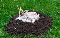 Hvidløg i muldvarpeskud