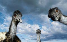 Emu Bird Facts – Emu Bird Species – Emu Bird Ecology and Behaviour Funny Animal Memes, Funny Animals, Cute Animals, Animal Humour, Tier Wallpaper, Animal Wallpaper, Hd Desktop, Wallpaper Desktop, Mobile Wallpaper