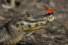 Amateur wildlife photographer Pavel Zahorec, 56, got the snap as he travelled down the Rio Negro in a small boat in the Brazilian Pantanal.