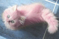 Is a pink cat!