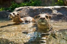 """""""Otters at Freshwater Oasis - now open at Discovery Cove in Orlando!"""""""