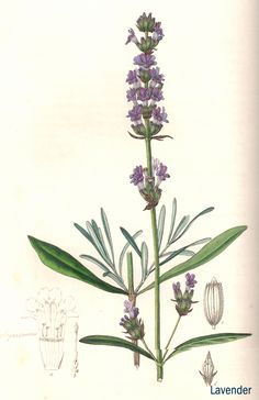 Lavender herb illustration