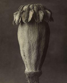 Karl Blossfeldt. 'Papaver orientale. Oriental Poppy' before 1928