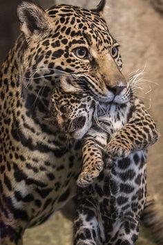 Jaguar or a Leopard with her cub.