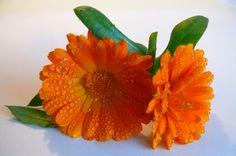 Die Ringelblume stärke die Verdauung und lindert Magenschmerzen und Darmentzündungen Zutaten: Getrocknete Ringelblumen-Blüten Doppelkorn oder Weingeist Herstellung: Füllen Sie ein Schraubdeckel-Glas zur Hälfte mit den Kräutern auf. Giessen Sie den Alkohol über die Kräuter, bis sie gut bedeckt sind. Verschliessen Sie das Glas. Lassen Sie die Tinktur nun vier bis sechs Wochen an einem warmen... Weiterlesen
