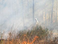 Prescribed burn of Savannah/Pitcher Plant Bog and Post-burn Crosby Arboretum Picayune, MS « Crosby Arboretum
