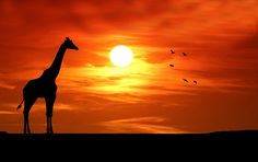 Giraffe Silhouette, Sunset Images, Public Domain, View Image, Free Stock Photos, Free Images, Pictures, Outdoor, Photos