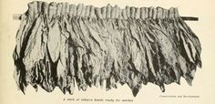 North Carolina Today, page 7 (1930s) --  A stick of tobacco hands  ^cs